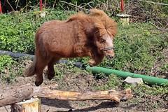 Mini Shetland Pony (ChrisAir86) Tags: mini shetland pony horsesofinstagram horseriding cheval equipo art landscape human wayoflife equestrian middle dark age equine equineart equines equinesofinstagram horselife horselove