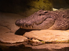 Nile Crocodile (dennisgg2002) Tags: bronx zoo new york city nyc ny