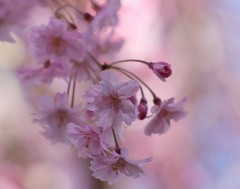 ~ pink ~ (Lisa Holder NC) Tags: pink blossoms blooms flowers petals nature tree spring outdoor soft softfocus depthoffield
