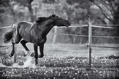 The gallop (Bighair63) Tags: action animal blackandwhite field gallop horse
