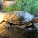 western pond turtle 02