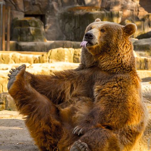 Best Portrait Model Ever (Bear, Zoo, Madrid, Spain)