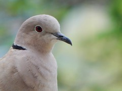 Portrait of Ring Necked Dove (starmist1) Tags: portrait ringneckeddove deck backyard spring april