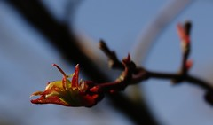 Acer Budding. April 2017 (SimonHX100v) Tags: acer acerbud foliage acerpalmatum japanesemaple april macro macrophotography macros closeup closeupshot closeupphoto closeupphotography zoom makro macrox macrocaptures macrophoto macroworld flowers flowerlove flowerporn flowering floraandfauna flora fauna nature mothernature perspective pointofview lowpov pov spring spring2017 april2017 depthoffield dof simonhx100v sonydschx100v sonyhx100v hx100v sonycybershotdschx100v