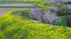 a scenery of early spring (photoholic image) Tags: apricot rapeseed flower spring scenery bank landscape plant tree