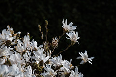 Magnolia (Infomastern) Tags: kungsparken malmö flower magnolia spring vår exif:model=canoneos760d exif:aperture=ƒ90 geocountry camera:make=canon exif:isospeed=100 camera:model=canoneos760d geostate geolocation exif:lens=efs18200mmf3556is geocity exif:focallength=200mm exif:make=canon