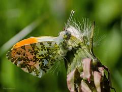 Butterfly (wernerlohmanns) Tags: insekten fliegendeinsekten falter tagfalter butterfly schärfentiefe sigma105 nikond7000 schmetterlinge makro
