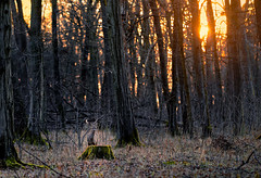 roe deer (Manphred) Tags: park forest game woods wildlife deer munich wild wilderness baum wald reh animal münchen nymphenburger trees sunset sun orange afterglow sonne rot sonnenuntergang abendrot