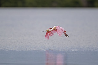 Spoonbill in Flight...