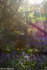 #LightCatcher #SpiderWeb #SpiderSilk #CatchTheLight #Life #FlowerCarpet #Spring #Tree #TreeObsessed #Branches #SunGlare #InTheWoods #Magical #WildBluebells #EnglishBluebells #WildFlower #NaturalBeauty #Nature #NatureLover #WhenNatureTalks  #SpringSpec (Sarwat Baig) Tags: nature life wildflower love naturalbeauty mycanon catchthelight magical whennaturetalks naturelover englishbluebells inthewoods wildbluebells spiderweb branches instanature tree lightcatcher sunglare spidersilk springspectacular potd treeobsessed flowercarpet spring