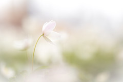 White on white (CecilieSonstebyPhotography) Tags: bokeh spring soft closeup flower outdoor canon pastel markiii macro beautiful dreamy canon5dmarkiii softness white flowers april