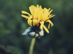 Crumpled by frost (Petr Horak) Tags: depthoffield bokeh lowkey spring weed plant macro closeup fuji x100f dandelion flower
