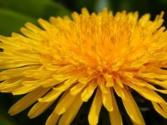 Dandelion Bloom (starmist1) Tags: flower bloom dandelion yardflower common notaweed yellow lowgrowing grass backyard raisedbed