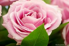 A Pink Rose (bluehazyjunem) Tags: pink rose tamron90 pentaxk70