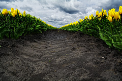 Tracks (Alfred Grupstra) Tags: clouds tulips hauwert noordholland nederland nl nature agriculture plant growth greencolor outdoors sky farm springtime leaf ruralscene land dirt field flower nopeople summer cloudsky inarow freshness