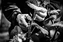 The Vintner 2 (Rebecca Danby) Tags: uk england people sussex vineyard hands vine stopham