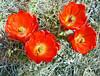 Hedgehog Cactus Flowers, JT NP 4-13 (inkknife_2000 (8.5 million views +)) Tags: cactus usa landscape desert skyandclouds vaportrail joshuatreenationalpark rockpiles hedgehogcactus cactusblooms dgrahamphoto