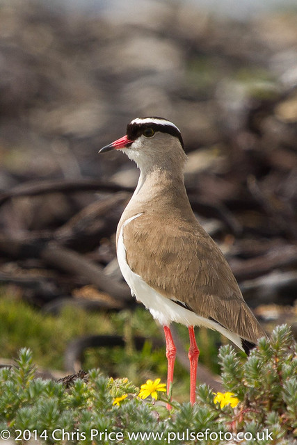Crowned Lapwing, Around Hermanus, South Africa