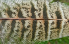Pheasant season (Christine Adey landscape & abstract artist.) Tags: autumn pheasant walk feather textures
