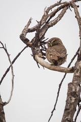 Chuncho cuidando su portal (VPMPhoto) Tags: chile santiago wild bird nature birds fauna del la natural florida wildlife sony ave cajn wilderness birdwatching slt ssm maipo avifauna a77 rm 70400g