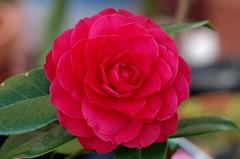 Camelia (Cee Jay Cee) Tags: flower redflower carmelia