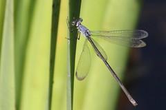 Slender Spreadwing at Ryker Lake (Tombo Pixels) Tags: newjersey ode nj damselfly slender spreadwing odonata slenderspreadwing odonate rykerlake twb1 ryker140578