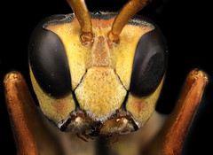 Paper Wasp (genus Polistes), Indiana, PA (Macroscopic Solutions) Tags: macro wasp insects wasps macropod entomology macrophotography hymenoptera insecta entomologists taxonomy:order=hymenoptera macroscopicsolutions