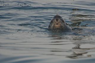 California Sea Lion - ♂