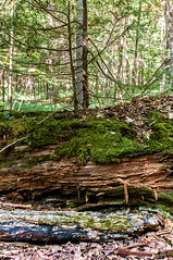 From the old, grows the new. (Kris Di Pietro) Tags: life new ontario tree forest death moss log trails growth nikkor silentlakeprovincialpark nikond300 2470mmf28g nikkor2470mm