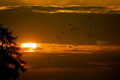 Sunset with birds (ollycrole) Tags: trees sunset shadow red sky orange cloud sun white color colour tree bird colors birds silhouette yellow closeup set clouds contrast circle lens evening fly flying nikon colours bright zoom 300mm