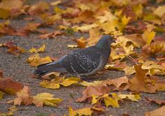 Autumn (Marjaana Pato) Tags: dove syksy ruska kyyhky kyyhkynen