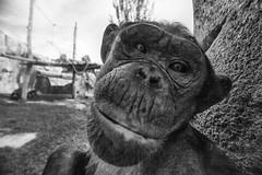 ceci n'est pas une selfie (Antnio Alfarroba) Tags: zoo lisboa lisbon lissabon lisbonne jardimzoolgico templodosprimatas