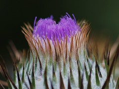 """don't get to close (""""nessie"""") Tags: flowers plants macro nature garden thistle blooms jaggy"""