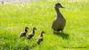 proud mother duck (jasonclarkphotography) Tags: newzealand christchurch sony nex canterburynz nex5 jasonclarkphotography