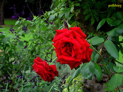 Red roses (pat.bluey) Tags: red roses ngc sydney australia newsouthwales 1001nights 1001magiccity
