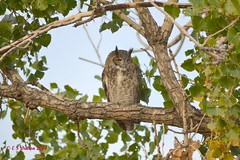 October 1, 2014 - A Great Horned Owl catches a nap at the Arsenal. (Ed Dalton)