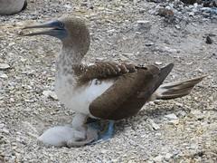 Galápagos - Isabela-183