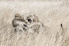 (nicolas hurez) Tags: africa nature fight wildlife battle nicolas lions namibia mamili hurez nicolashurez