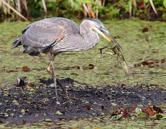 Great Blue Heron with Bullfrog (cobalt_creek) Tags: wa pnw greatblueheron bullfrog americanbullfrog gbh birdsofwashingtonstate wawildlife heronhunting birdinginwa birdinginthepacificnorthwest greatblueheroncatchingbullfrogs
