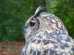 Amber eyes #1 (petrOlly) Tags: bird nature birds animal animals germany deutschland europa europe natura wildanimals przyroda moenchengladbach rheydt schlossrheydt