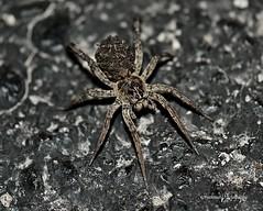 'Night Stalker' (RMIngramPhotos.com) Tags: nature spiders arachnids macrophotography nightstalker nikonphotography giantcarolinawolfspider spidersfoundintexas femalecarolinawolfspiderhognacarolinensis femalewolfspiderwithyoungonherback