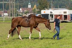 DSC06818_s (AndiP66) Tags: horse oktober macro sports sport schweiz switzerland mark sony luzern sp ii di if alpha tamron concours 77 pferd 70200 equestrian derby f28 ld horsejumping 70200mm wettbewerb 2014 springen kantonsolothurn inwil reithof springreiten cantonsolothurn stleodegar andreaspeters pferdespringen 77m2 a77ii ilca77m2 77ii slta77ii