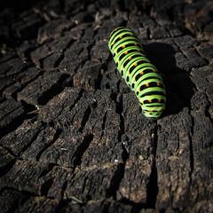 caterpillar (exa1ex) Tags: caterpillar stump