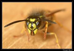 Guêpe commune (Vespula vulgaris) (cquintin) Tags: arthropoda vulgaris hymenoptera vespula vespidae