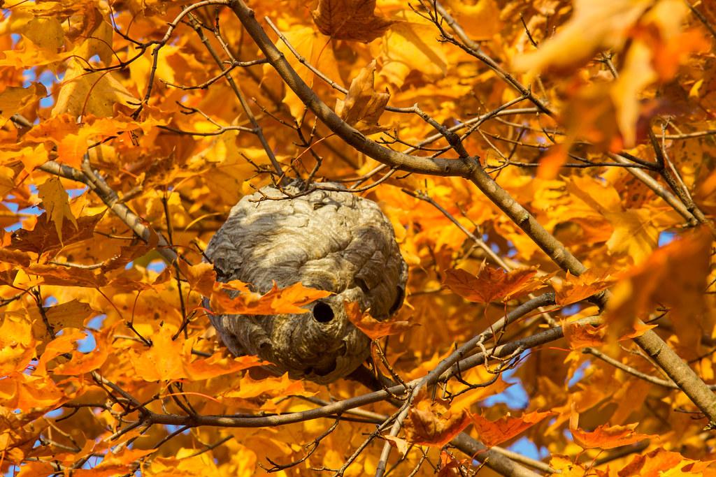 Nid de guêpes / Wasp nest
