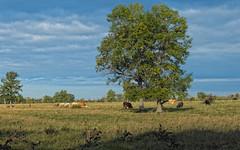 Bovine Pastoral (cjh44) Tags: ontario tree field cattle farm kingston