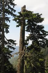 Mit Flechten bewachsene Regenwald Bäume; Grouse Mountain, North Vancouver (9) (Chironius) Tags: britishcolumbia vancouver kanada canada baum bäume tree trees arbre дерево árbol arbres деревья árboles albero árvore ağaç boom träd coniferales koniferen konifere