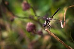 Black Darter (Trond Strmme) Tags: dragonfly libelle bjerke yenstikker blackdarter sympetrumdanae blackmeadowhawk rvoll svarthstlibelle