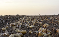 """Potatoes harvest 