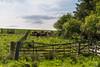 Curious Cows (M J Robinson Photography) Tags: castle fence landscape photography scotland nikon gate cows farm moray morayshire auchindoun d7100 nikond7100
